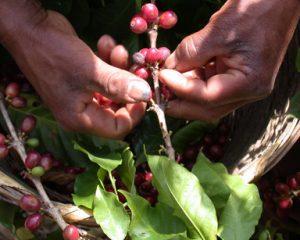 caffe fair trade trinci torrefazione