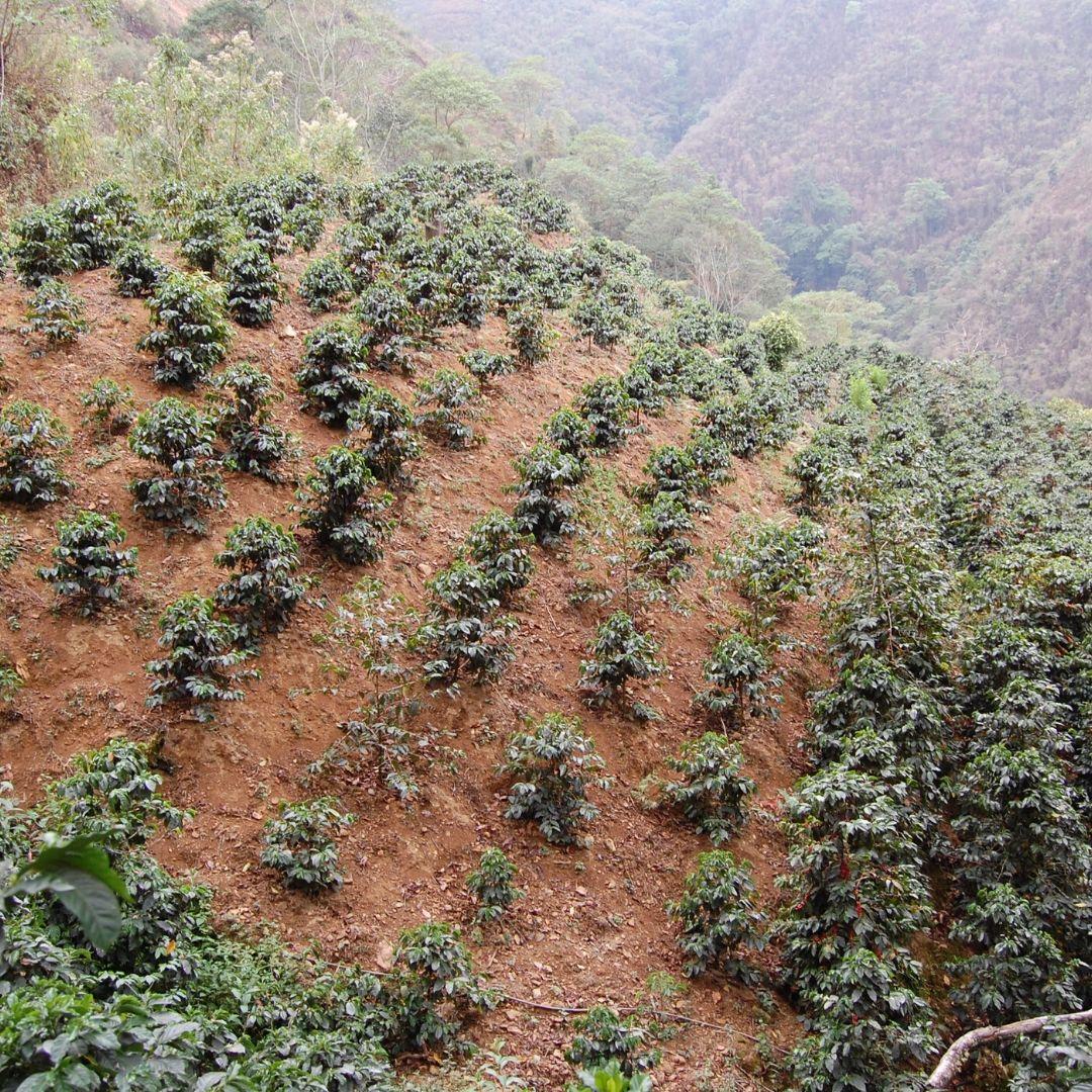 piante caffè