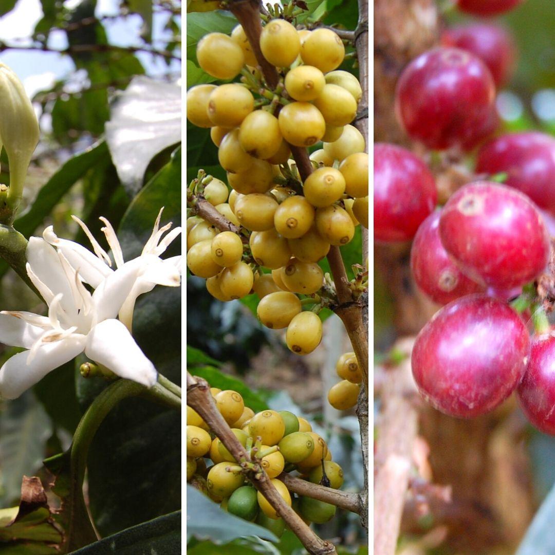 fiori e frutti del caffe