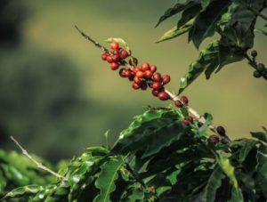 caffè artigianale o industriale